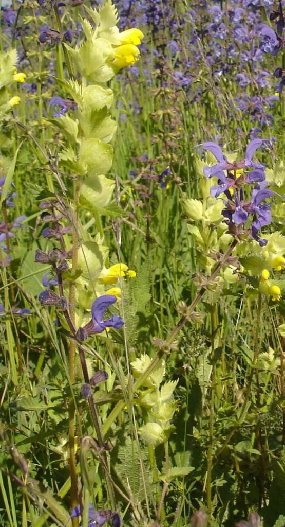The yellow flowers of hay rattle are often found in diverse meadows because many of our most-loved flowering plants are resistant to its charms