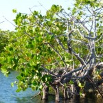 Mangroves line many of the channels and are vitally important habitats for fish and young turtles