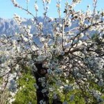 Almond blossom in the Majorcan mountains: a diverse landscape that supports thousands of overwintering birds.